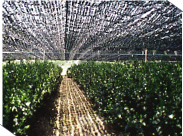 gyokuro cultivo